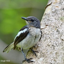 Oriental Magpie-robin – tail development