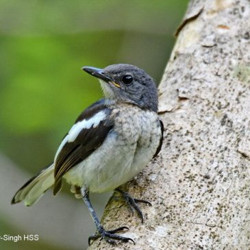 Oriental Magpie-robin – tail development