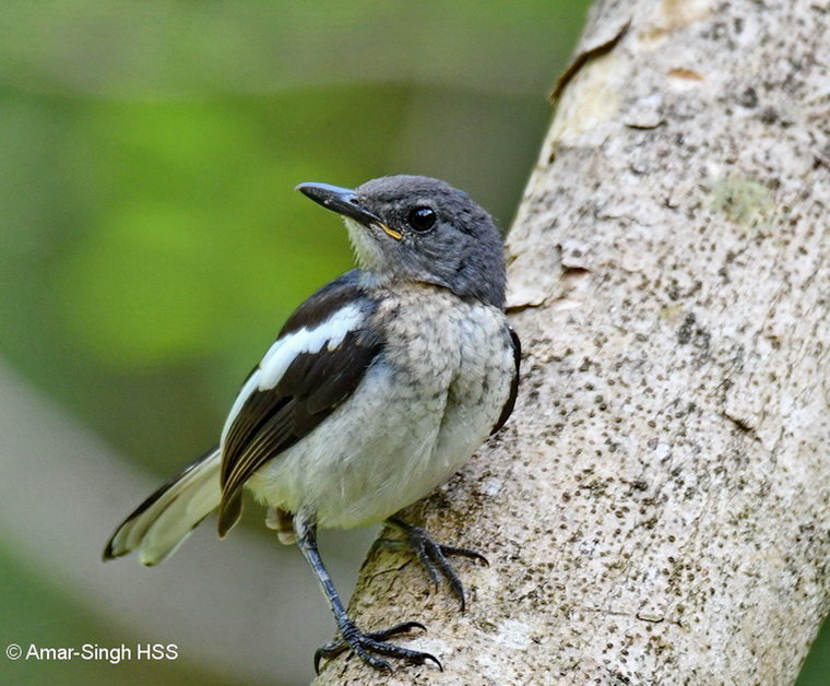 Oriental Magpie Robin-1a-Ipoh, Perak, Malaysia-22nd September 2017-1