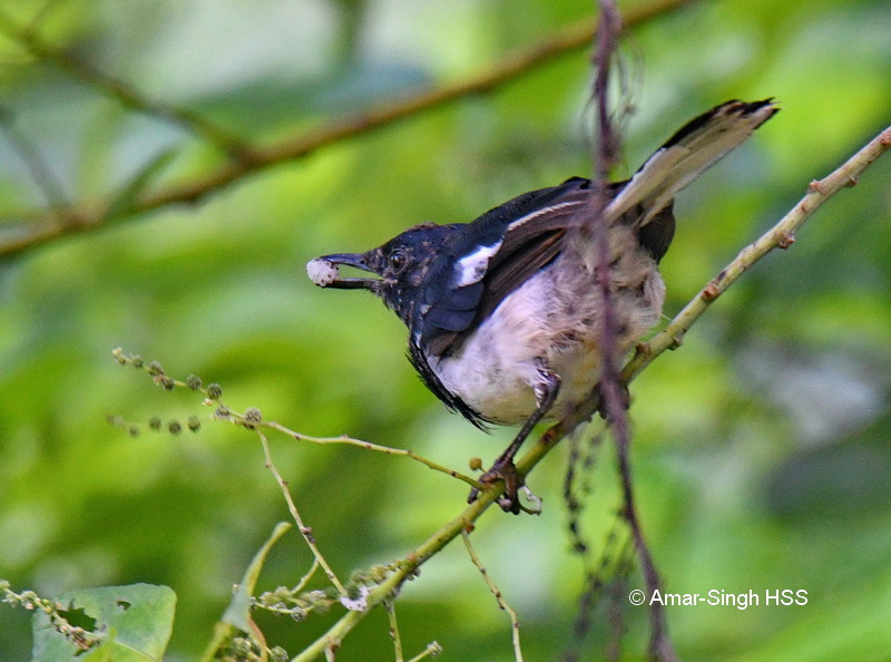 Oriental Magpie Robin-1a-Ipoh, Perak, Malaysia-6th September 2017