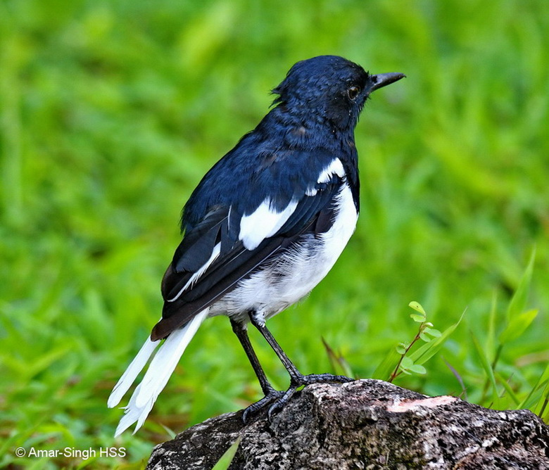Oriental Magpie Robin-3a-Ipoh, Perak, Malaysia-22nd September 2017