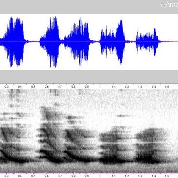 Oriental Magpie Robin – songs