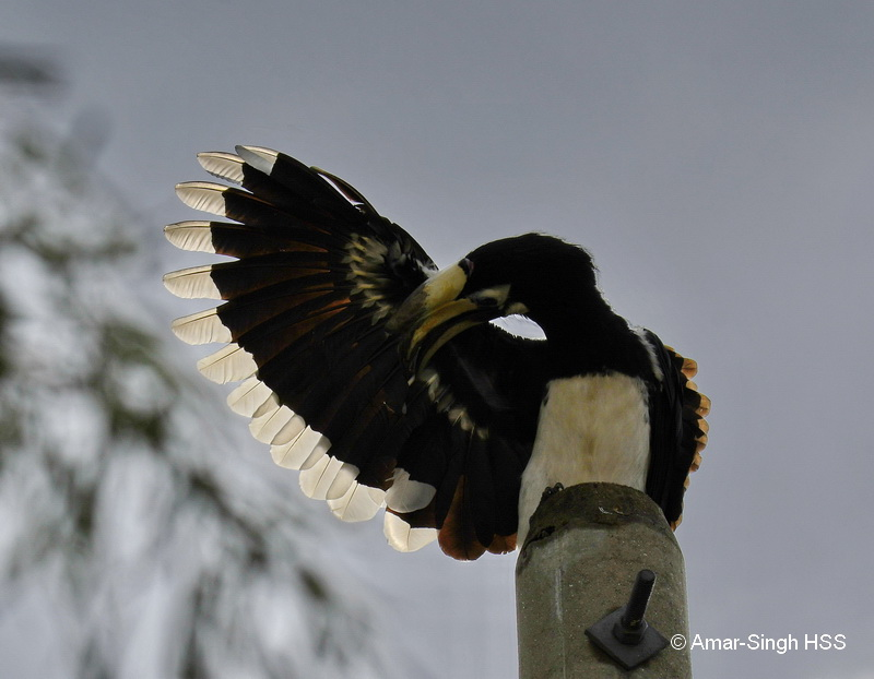 Oriental Pied Hornbill-1a-Ipoh, Perak, Malaysia-14th September 2017