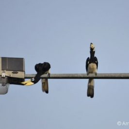 Encounter with a family of Oriental Pied Hornbills