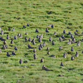 Oriental Pratincole  – flocks and thermals