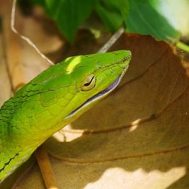 Oriental Whip Snake swallows Changeable Lizard
