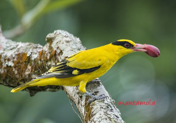 "Black-naped Oriole eats <em>Gnetum gnemon</em> ""fruit&#8221;"