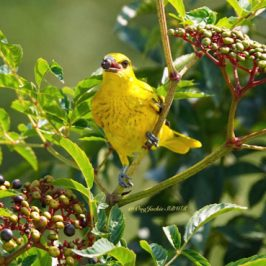 Black-naped Oriole takes <em>Leea indica</em> fruits