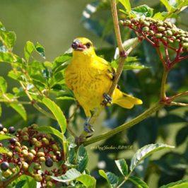 Black-naped Oriole takes <em>Leea indica</em> fruits