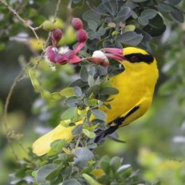Black-naped Oriole Oriolus chinensis maculates feeding on Madras Thorn fruit