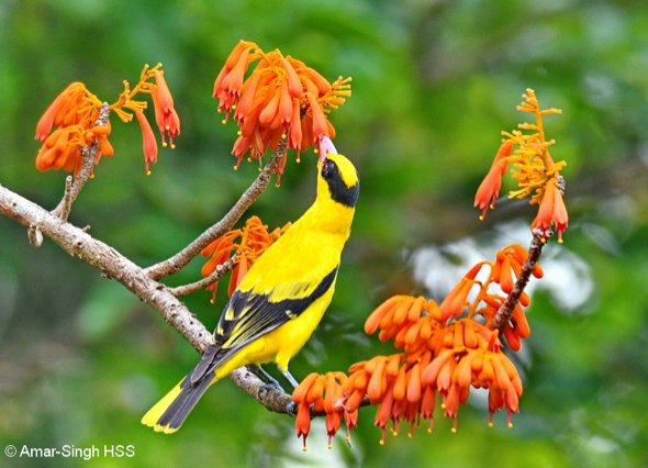 Black-naped Oriole.