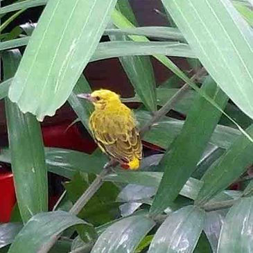 My encounter with two Black-naped Oriole chicks