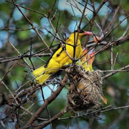 Black-naped Oriole feeding chicks
