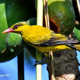 Black-naped Oriole – immature