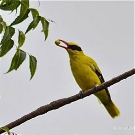 Black-naped Oriole feeding on neem fruits