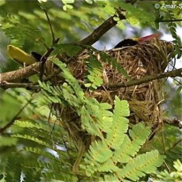 Nesting of the Black-naped Oriole: 2. Nest attachment
