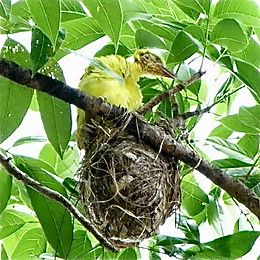 Nesting of the Black-naped Oriole: 2. Feeding chicks