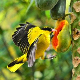 Black-naped Oriole and papaya