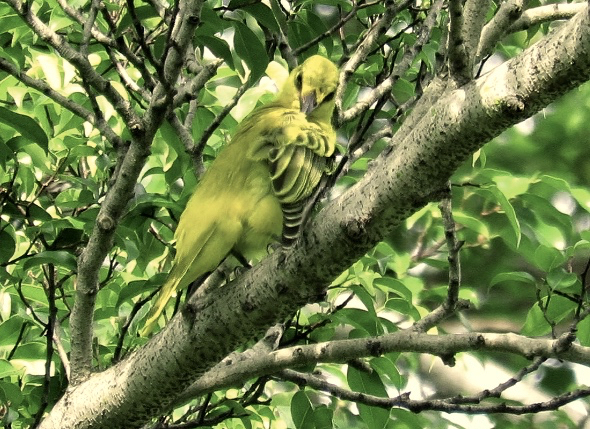 BLACK-NAPED ORIOLE PREENING and STRETCHING