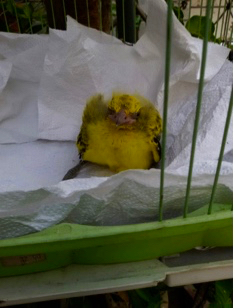 Rescue of Black-Naped Oriole chicks