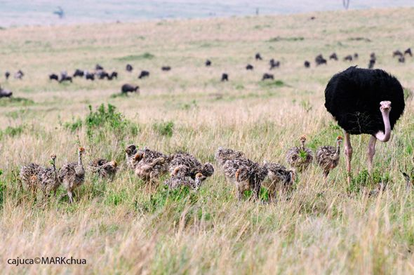 Sex and the Birds: 7. Ostriches and polygamy