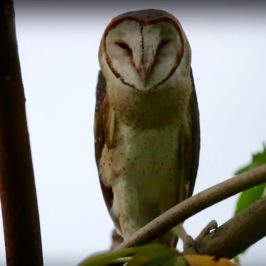 Owls and superstition