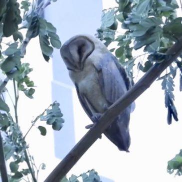 Long-tailed Shrike mobbing Barn Owl