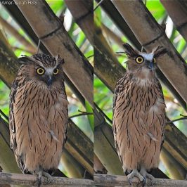 Buffy Fish-owl – Facial Expression