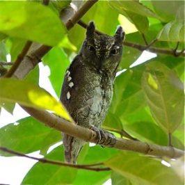 Oriental Scops Owl at Pulau Ubin