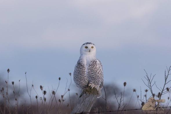 OwlSnowy [NeoNg]