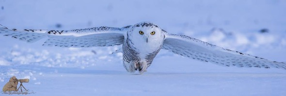 Do you know that Snowy Owl…