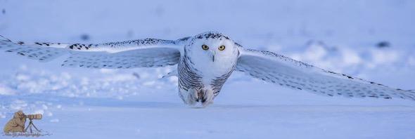 Do you know that Snowy Owl…