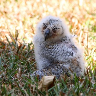 The day a Spotted Wood Owl chick fell…