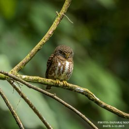 "Collared Owlet's ""dorsal face"""