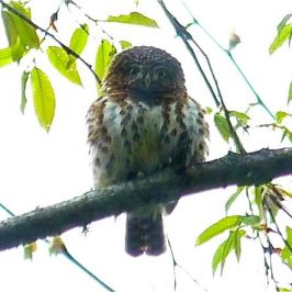 Collared Owlet calling
