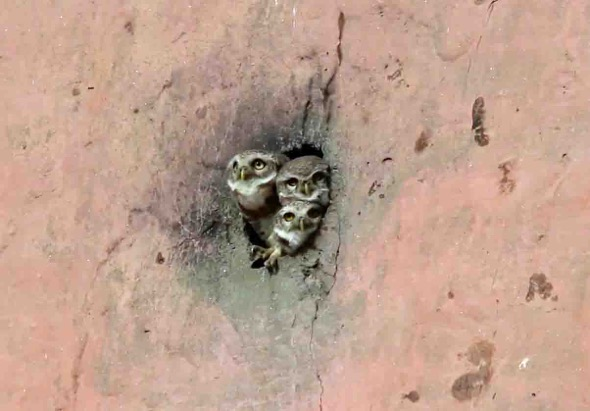 Spotted Owlet (screen grab)
