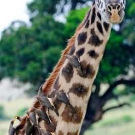 The Yellow-billed Oxpecker and the giraffe