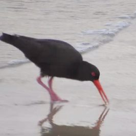 Sooty Oystercatcher probing for marine worms