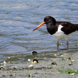 SOUTH ISLAND PIED OYSTERCATCHER FEEDING