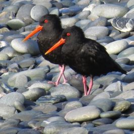 VARIABLE OYSTERCATCHER FEEDING