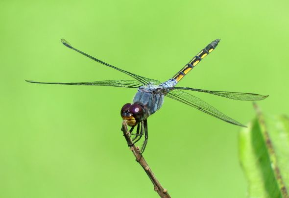 COMMON CHASER OVIPOSITING