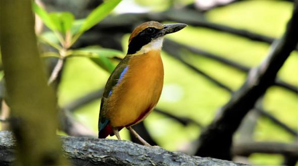 Call of the Mangrove Pittas