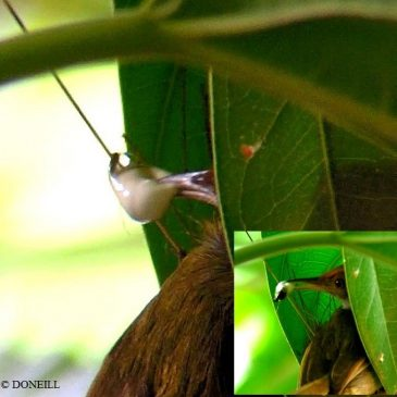 © Nesting Common Tailorbirds – One Full Circle Part 11 Faecal Sacs