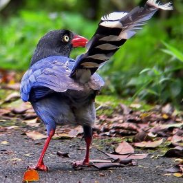 © The Ubiquitous Formosan Magpie of Taiwan