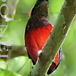 ©WHISTLING ENCOUNTER WITH PITTA GRANATINA VS. PLAYBACK RECORDINGS IN SARAWAK