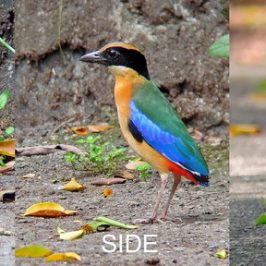 © Blue-winged Pitta's Confrontation with Resident Drongo