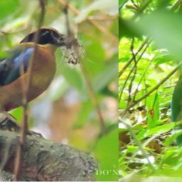 © 43 Days Breeding Moments in Blue-winged Pitta 2017 (Batch 2) Part 1