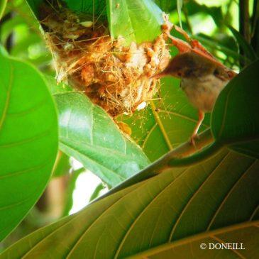 © Nesting Common Tailorbirds – One Full Circle Part 6