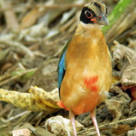 © Post-natal moult in Blue-winged Pitta- A sequential photo record