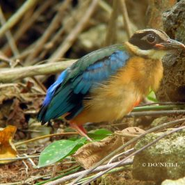 ©A 'Hat-trick' with  Blue-winged Pitta fledgling 2017 (Batch3) Part1